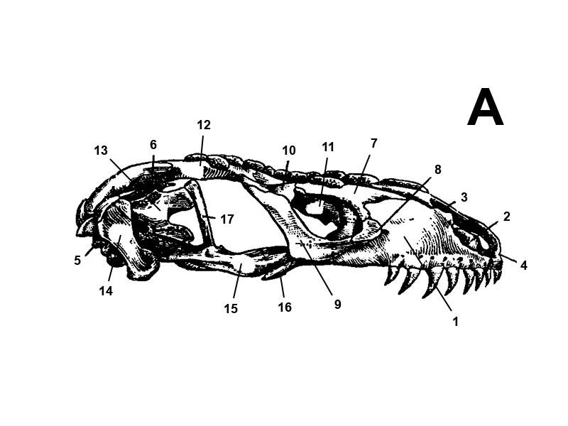 Anatomie und Morphologie der Heloderma