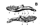 Diagrams of view of lower jaws (mandibles)