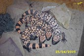 Examples of Gila Monsters (Heloderma suspectum)