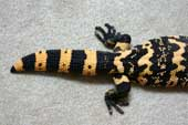 Sexes: Tail shape of adult male Gila monster
