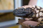 Head of female Gila monster