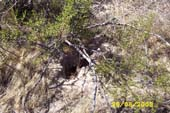 Rodent burrow under Creosote Bush