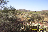 Biotope with Prickly Pear