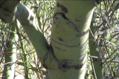 Bark of Palo Verde