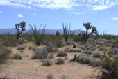 Joshua Trees and Ocotillo south of Kingman