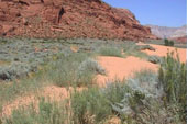 Artemisia plants in sand dunes in Snow Canyon